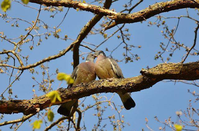 pigeons-50005_640